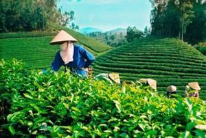Вьетнамский чай – разнообразие вкусов и сортов