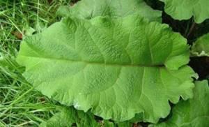 Листья лопуха: лечебные свойства и применение в народной медицине,  от чего помогает отвар и чем он полезен для женщин