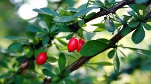 Барбарис: полезные свойства и противопоказания к применению