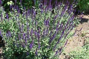 Шалфей: лечебные свойства и противопоказания, как выглядит эта трава и где она растет, инструкция по применению