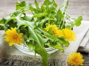 Одуванчик – лечебные свойства и противопоказания необычного сорняка