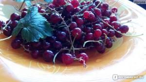 Красная смородина – садовая красавица и кладезь витаминов