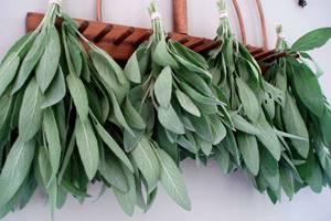 Шалфей мускатный: лечебные свойства и противопоказания в зависимости от сорта и способа приготовления