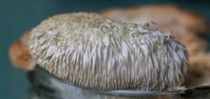 Ежевик (ежовик) гребенчатый: польза и способ приготовления