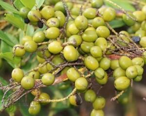 Пальма ползучая для мужчин. Применение экстракта пальмы сереноа. Сереноя ползучая: инструкция по применению и противопоказания